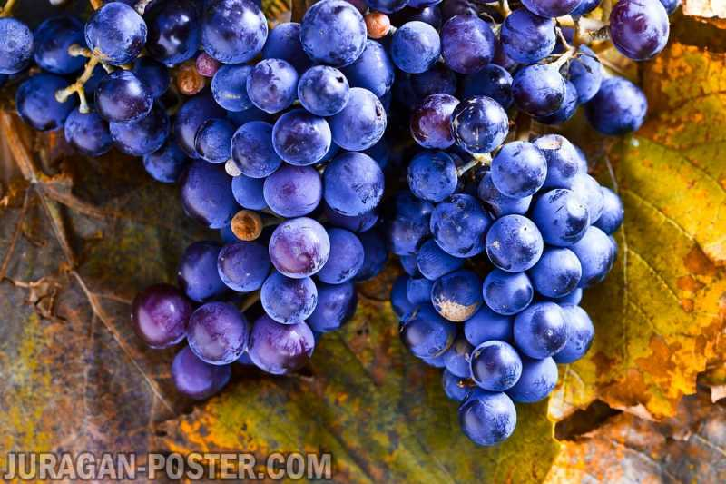 Collection Of Wine Grapes Autumn Jual Poster Di Juragan