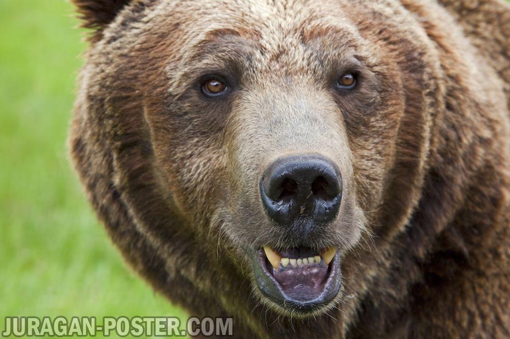 Bear Jual Poster Di Juragan Poster