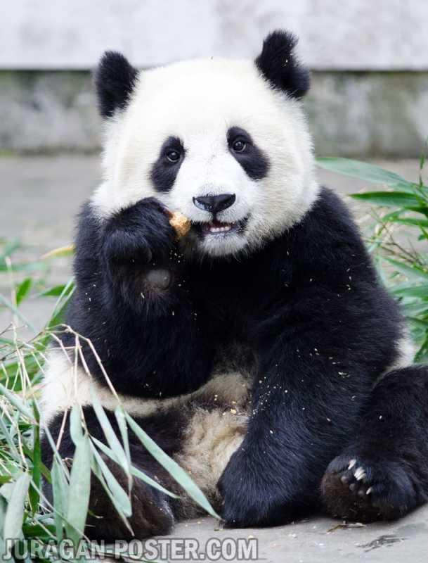 Panda - Jual Poster di Juragan Poster