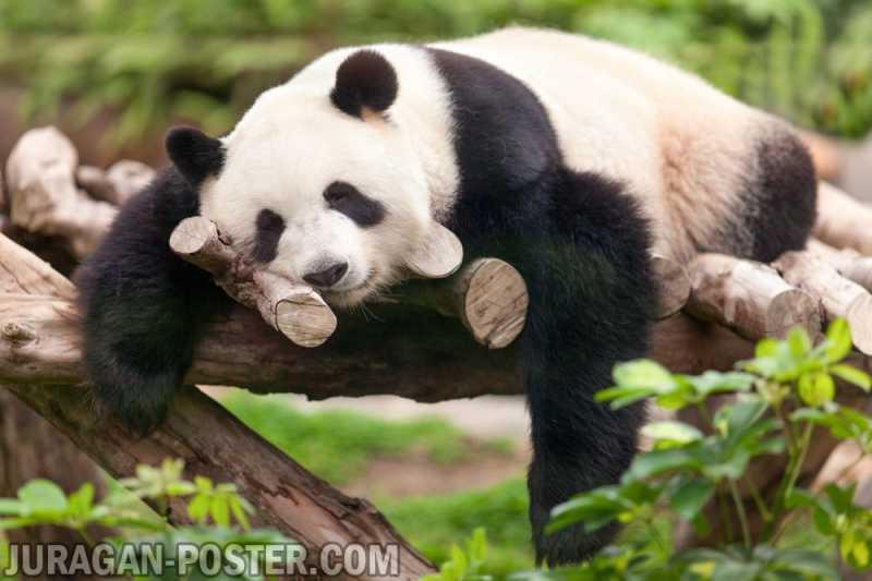 Panda Jual Poster Di Juragan Poster