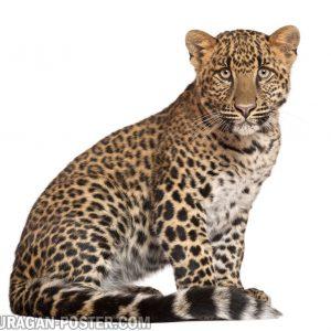 Jual poster gambar binatang Cheetah