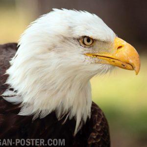 jual poster gambar burung elang