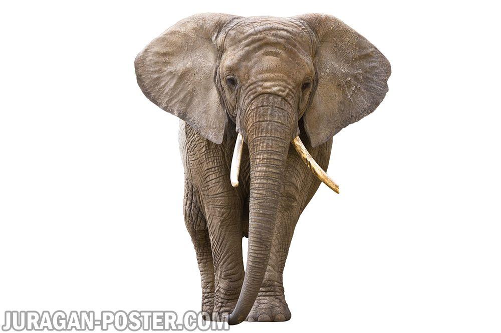 Jual poster gambar binatang gajah