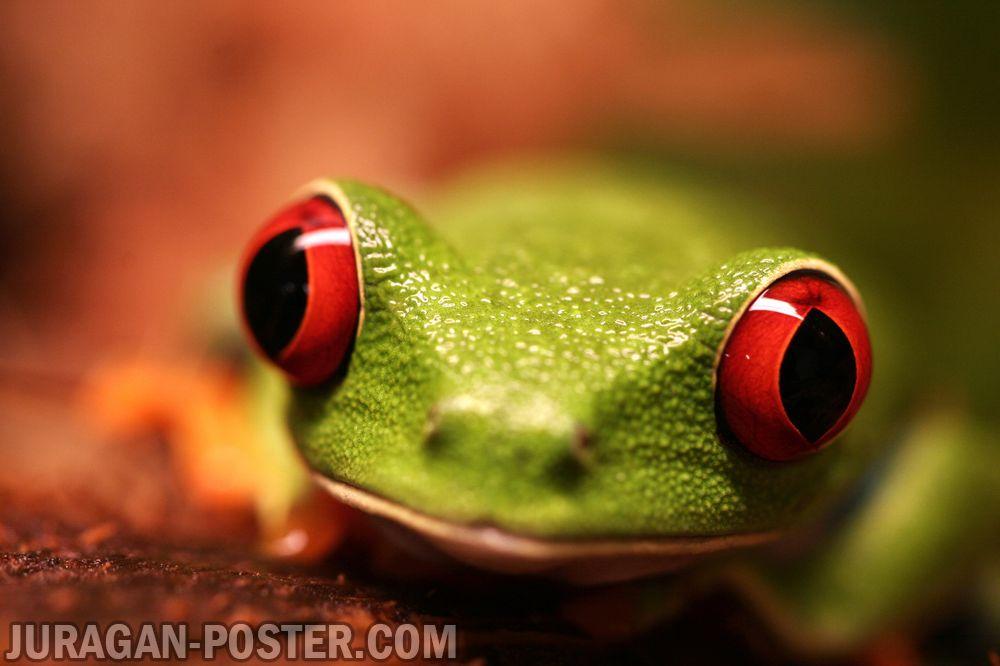 Jual poster gambar katak