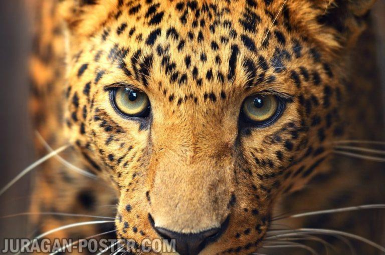 Jual poster gambar macan tutul Leopard