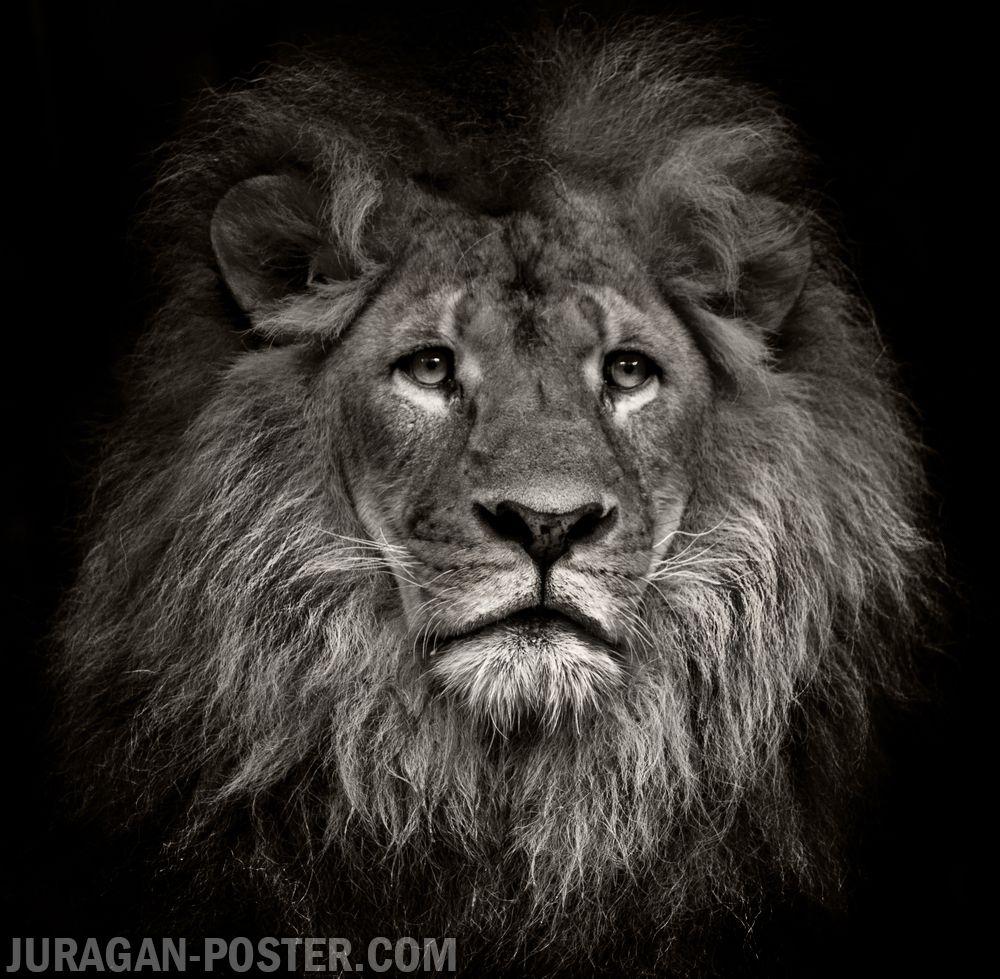 jual poster gambar singa