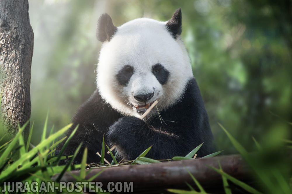 jual poster gambar beruang panda lucu