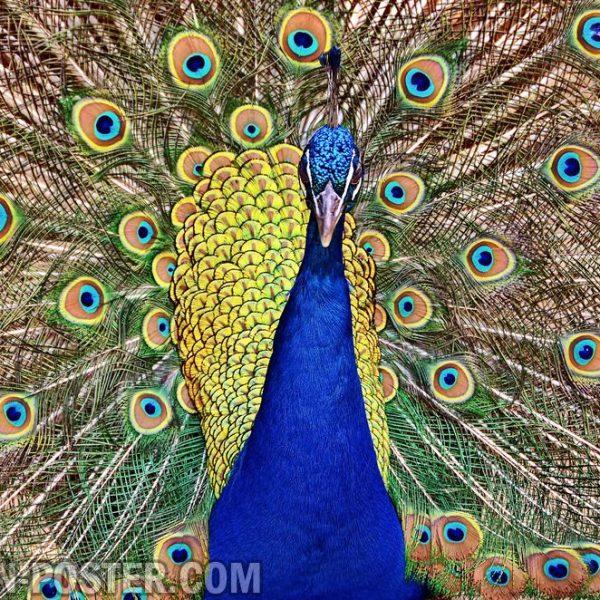 jual poster gambar burung merak