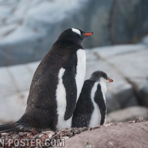 jual poster gambar penguin