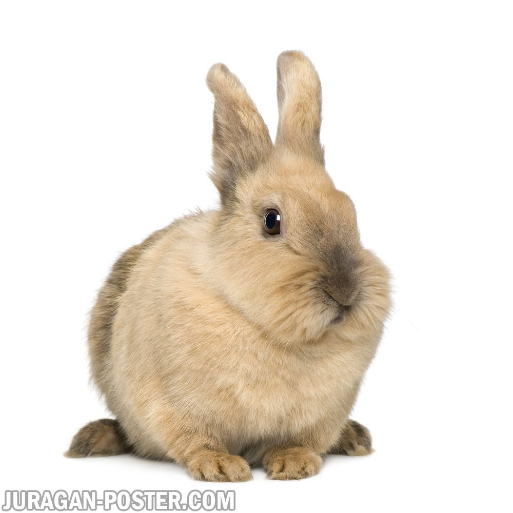 Jual poster gambar kelinci lucu