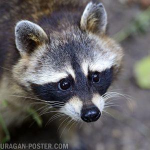 jual poster gambar raccoon