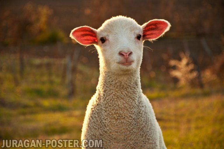 jual poster gambar domba kambing biri-biri