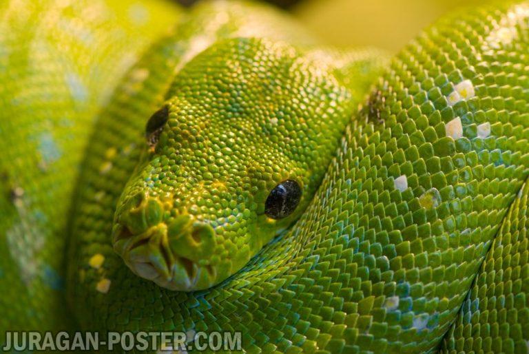 Jual poster gambar ular