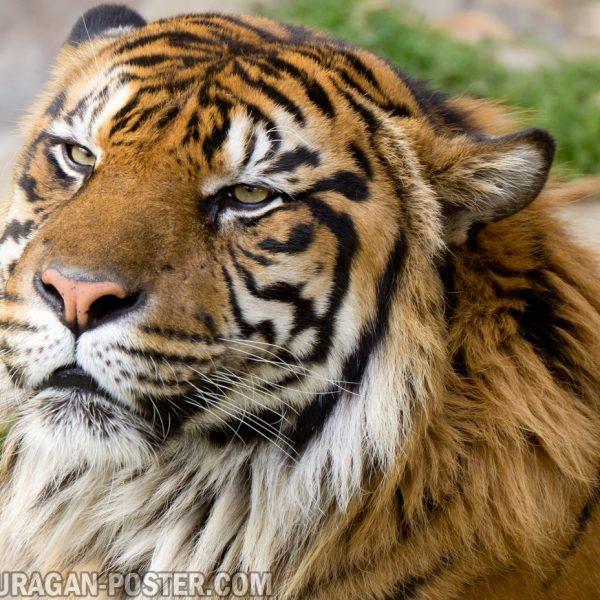 jual poster gambar macan