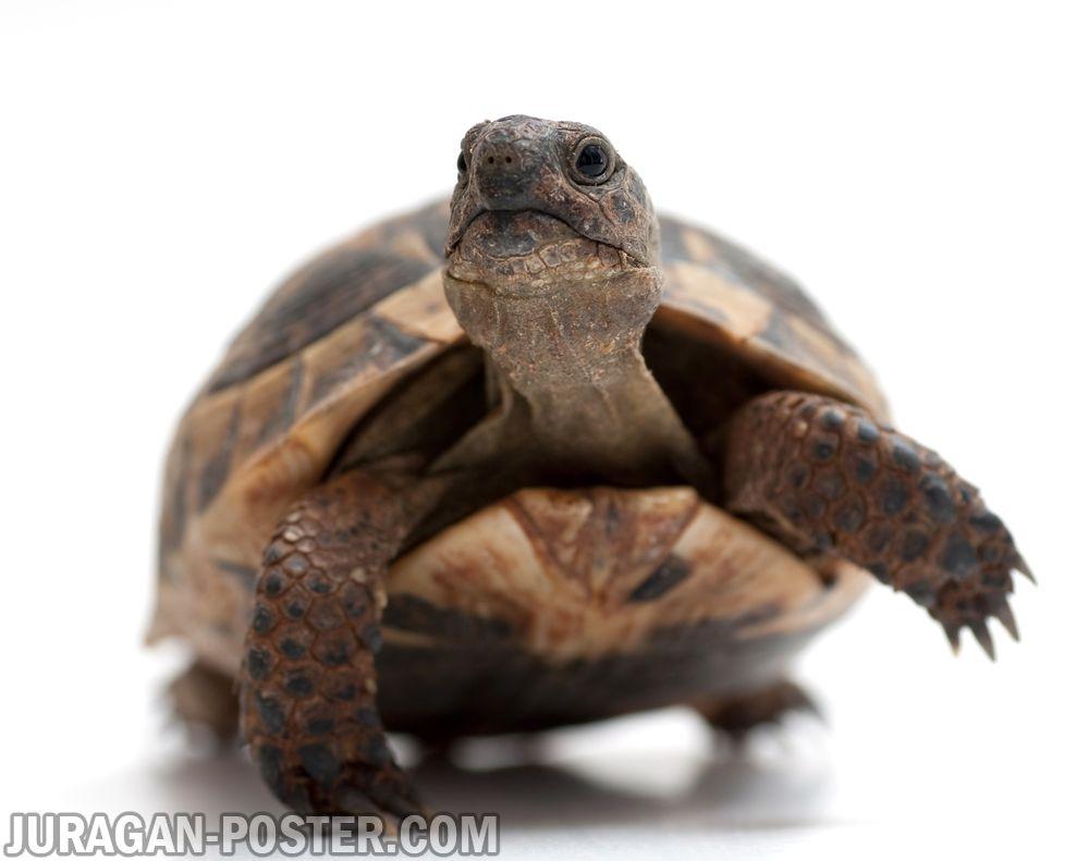 jual poster gambar kura-kura