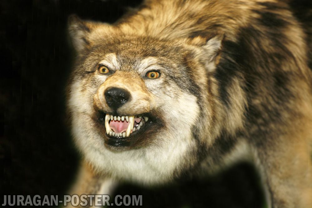 Jual poster gambar serigala