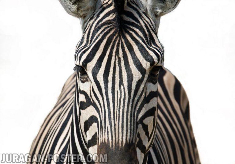 jual poster gambar kuda zebra