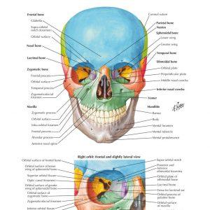 Frank Netter Anatomy 500 gambar anatomi tubuh