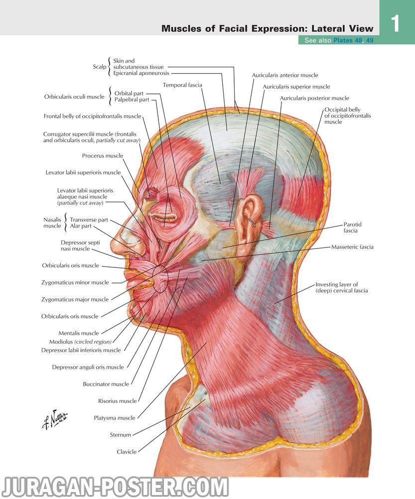 jual poster gambar anatomi tubuh manusia bagian kepala dan leher 01 Head and Neck 02
