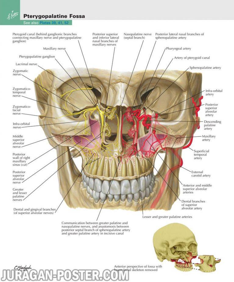 jual poster gambar anatomi tubuh manusia