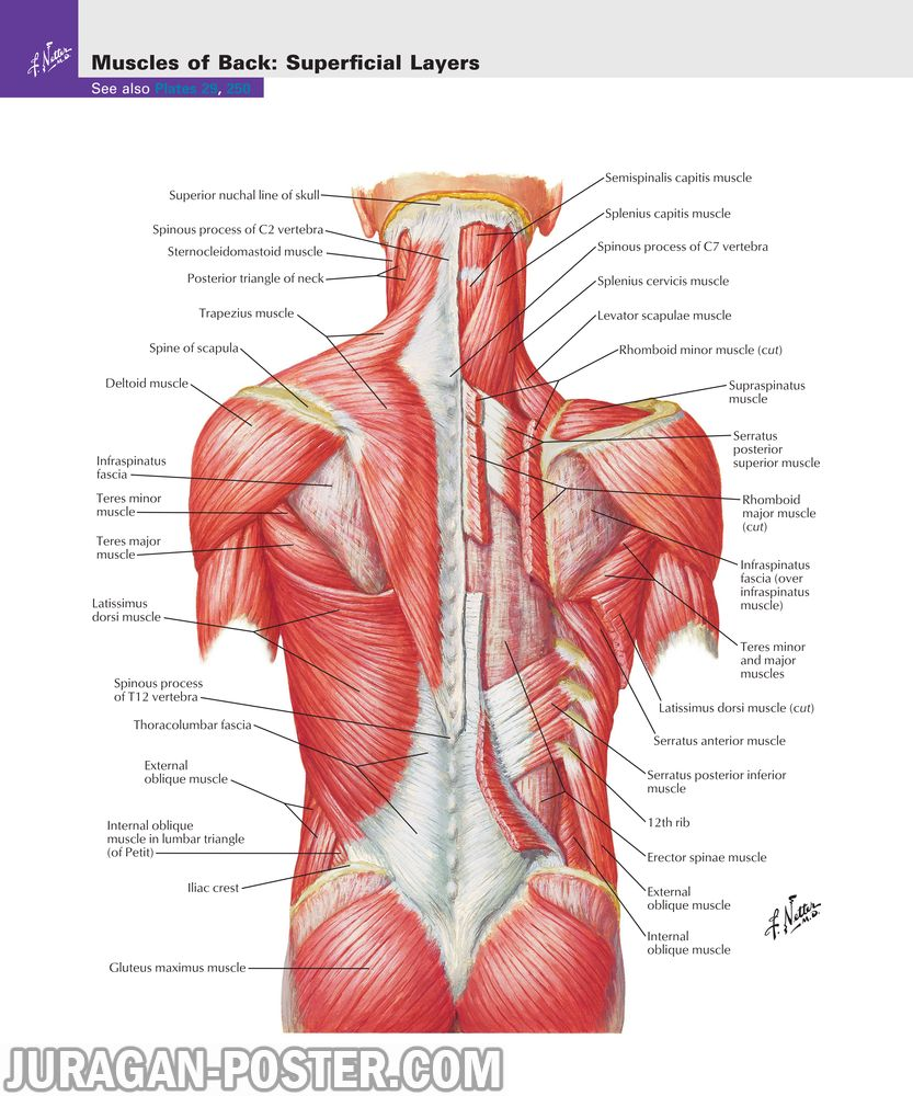 jual poster gambar anatomi tubuh manusia bagian punggung 02 Back and Spinal Cord