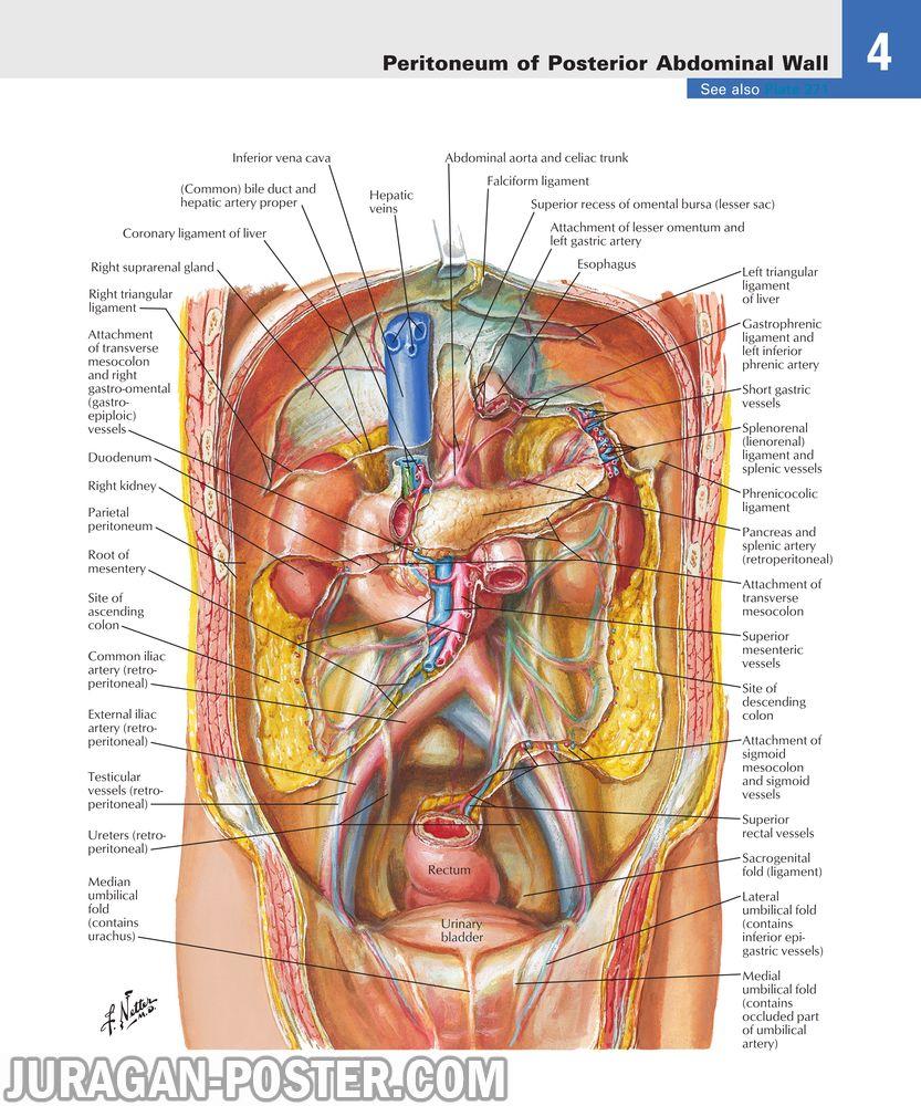 jual poster gambar anatomi tubuh manusia bagian Perut Abdomen