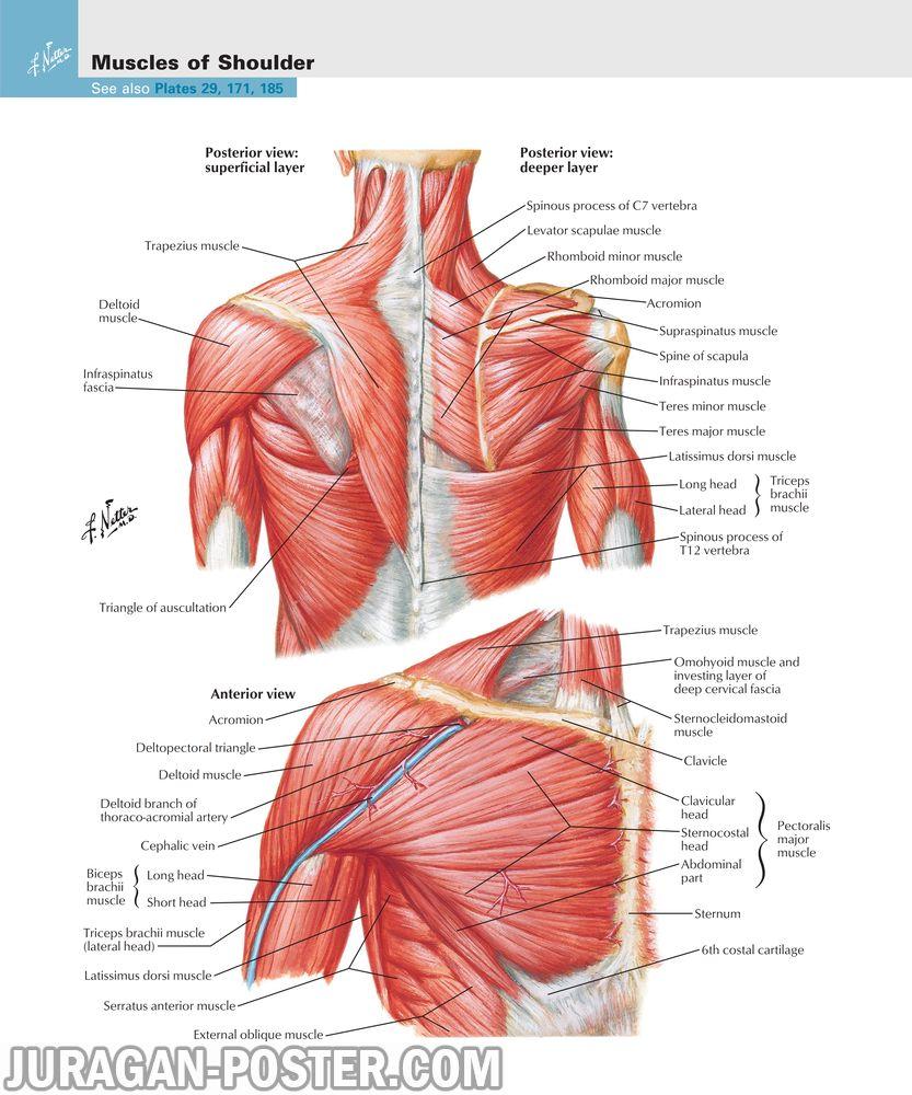 jual poster gambar anatomi tubuh manusia bagian tubuh atas upper limb