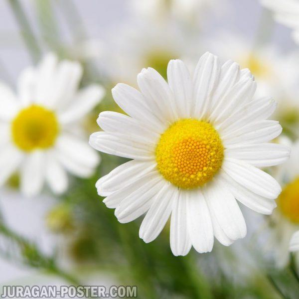 jual poster gambar bunga Chamomile