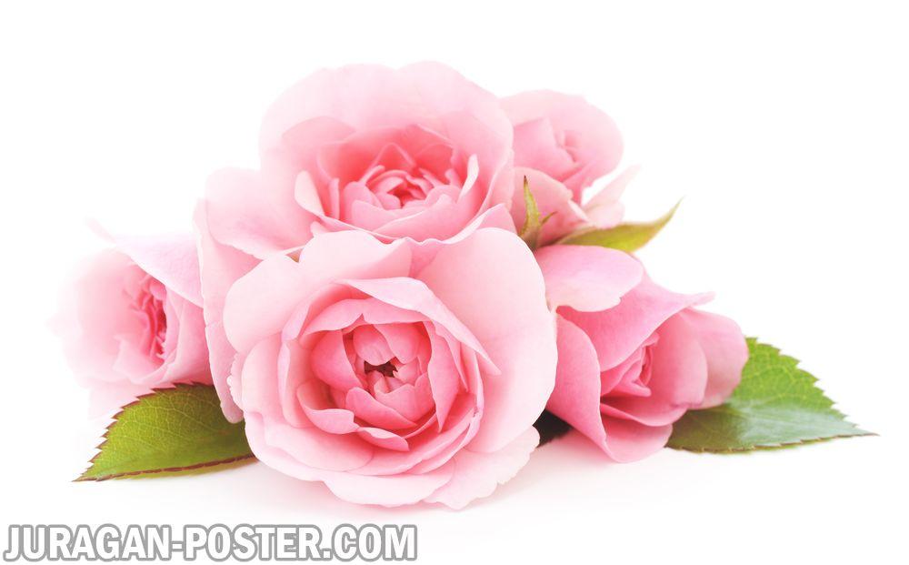 Jual poster gambar bunga Mawar Rose 03