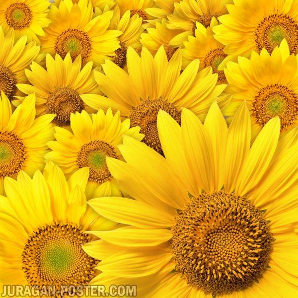 Jual poster gambar bunga matahari sunflower