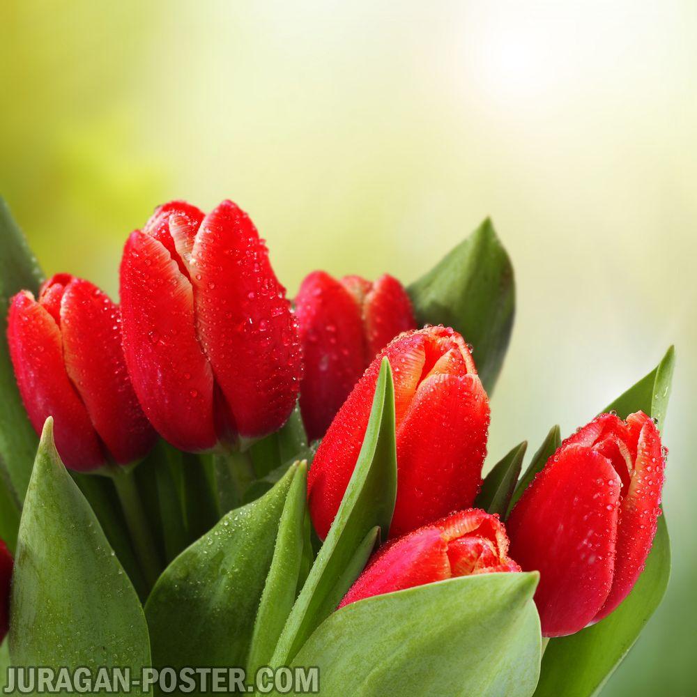 Jual poster gambar bunga Tulip 02