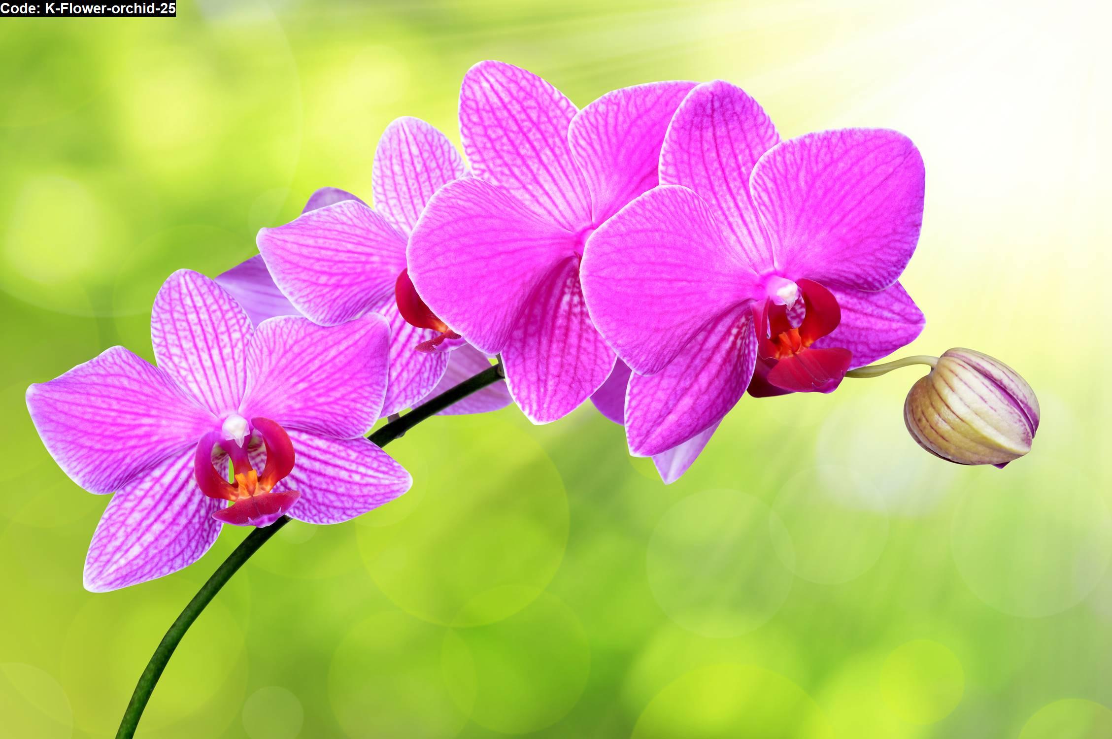 Flower Orchid 25 Jual Hiasan Dinding