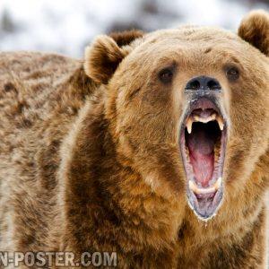 jual poster gambar binatang beruang