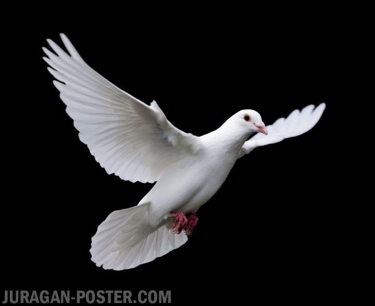 jual poster gambar burung merpati putih
