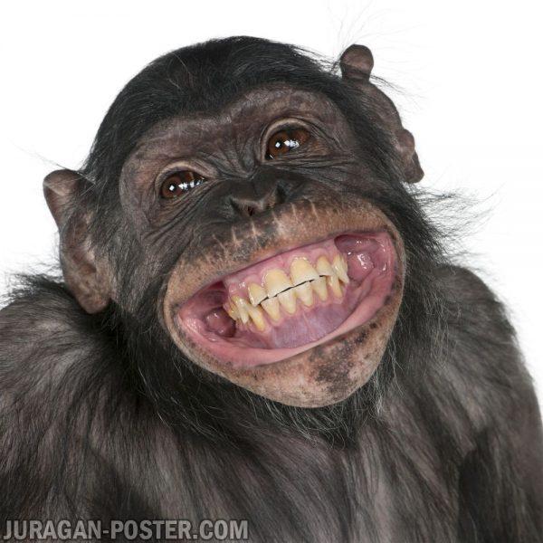 jual poster gambar monyet