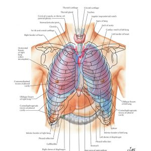 jual poster gambar anatomi tubuh manusia bagian Thorax