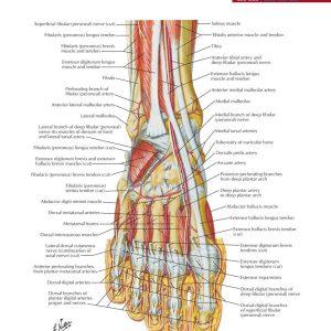 jual poster gambar anatomi tubuh manusia bagian tubuh bawah lower limb